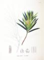 Podocarpus macrophyllus SZ133.png