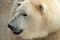 Polarbear (4210903578) (2).jpg