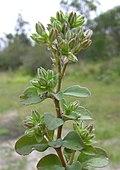 Polycarpon tetraphyllum branch2 (14943157425).jpg