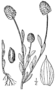 Polygala lutea drawing.png