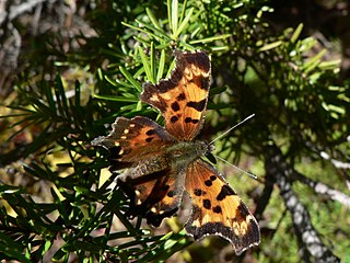 <i>Polygonia faunus</i> Species of butterfly