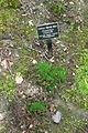 Polytrichum commune - Jenkins Arboretum - DSC00647.JPG