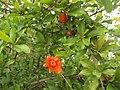 Pomegranate flower 04.jpg