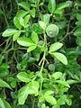 Poncirus trifoliata01.jpg