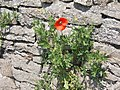 Poppy in Wall - geograph.org.uk - 1168677.jpg