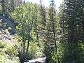 Populus balsamifera (5002376883).jpg