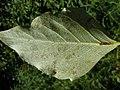 Populus balsamifera (5002380001).jpg