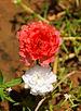 Portulaca grandiflora III.jpg