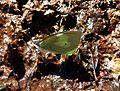 Poss.dismorphia crisia.mimic white - Flickr - gailhampshire.jpg