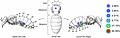 Preferred feeding location of Varroa destructor mites on adult host bees.jpg