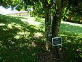 Pride of Burma (Amherstia Nobilis-Fabaceae) I.JPG
