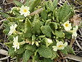 Primula-vulgaris-plant1.jpg
