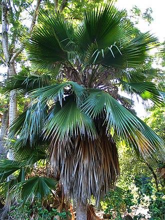 Pritchardia beccariana - Image: Pritchardia beccariana (4761434315)