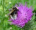 Probably male Bombus vestalis or possibly faded Bombus bohemicus (2) - Flickr - gailhampshire.jpg