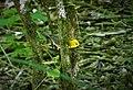 Prothonotary Warbler. Protonotaria citrea. (38211907155).jpg