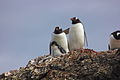 Proud Family of Gentoo Penguins IMG 0925.jpg