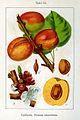 Prunus armeniaca Sturm08061.jpg