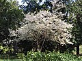 Prunus subhirtella Wiśnia różowa 2017-04-09 02.jpg