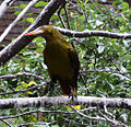 Psarocolius viridis -San Antonio Zoo-8a.jpg