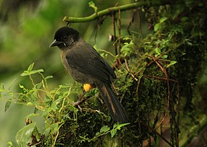 Yellow-thighed finch - In Costa Rica