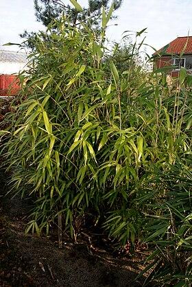 Japansk Bambus Wikipedia Den Frie Encyklopaedi