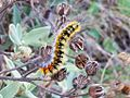 Psilogaster loti caterpillar 01.jpg