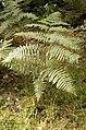 Pteridium.aquilinum.jpg