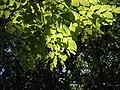 Pterocarpus indicus 紫檀 (天問) 001.jpg