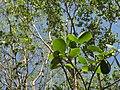 Pterocarpus santalinus 10.JPG