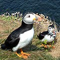 Puffins are very friendly to human beings because human protect them against sea-gullys - panoramio.jpg