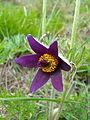 Pulsatilla montana flower.JPG