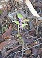 Purple flower, Dryandra Woodland, Western Australia.jpg