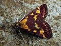 Pyrausta purpuralis - Огнёвка пурпурная (43172785374).jpg