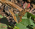 Queen of Spain Fritillary (Issoria lathonia) I IMG 6965.jpg