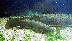 Queensland lungfish - Image: Queensland Lungfish (Neoceratodus forsteri)