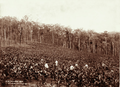 Queensland State Archives 5093 Arrowroot field with 6 workers Pimpama1897.png