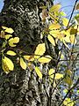 Quercus Montana bark and sunlit leaves in early spring.jpg