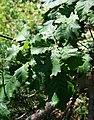 Quercus macranthera 1.jpg