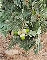 Quercus pyrenaica 20150812a.jpg