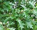 Quercus rubra 2008 07 06 (2).JPG