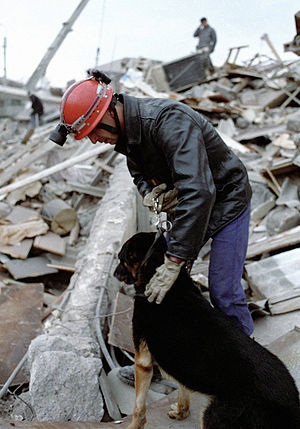1988 Armenian earthquake - A French search and rescue worker searches for buried people with the aid of a detection dog