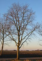 RN Ulmus hollandica Commelin winter.JPG