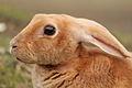 Rabbit, Staunton.jpg