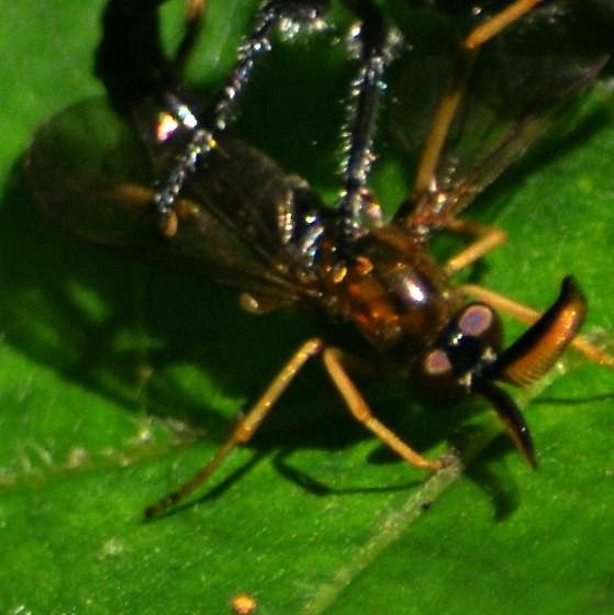 Rachicerus obscuripennis