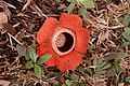 Red flower made of 5 petals surrounding a depressed centre, on the forest floor surrounded by dead leaves and small green plants