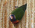 Rainbow Lorikeet (Trichoglossus moluccanus) - Lip Kee (1).jpg