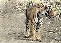 Ranthambhore tigres- Arrowhead.jpg