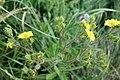 Ranunculus acris, Ranunculaceae 01.jpg