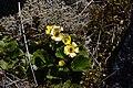 Ranunculus haastii in Lewis Pass Scenic Reserve 02.jpg