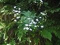 Ranunculus platanifolius1.JPG